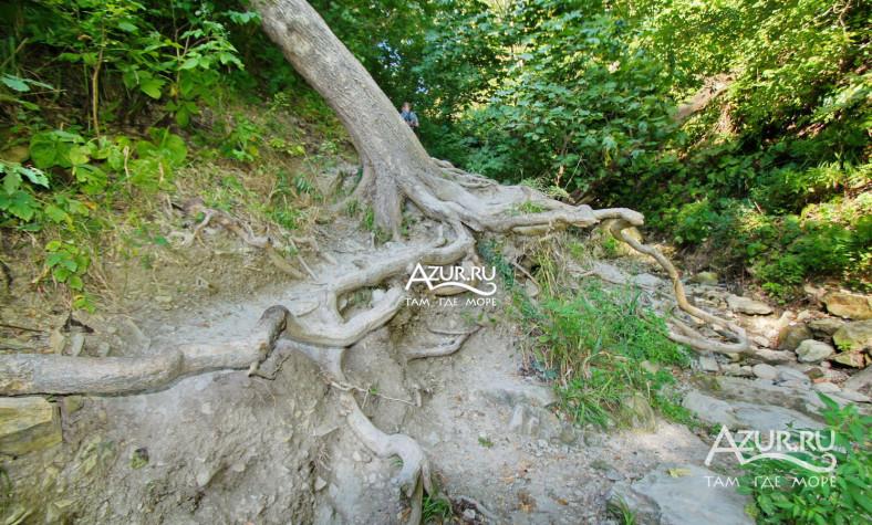 дерево с открытыми корнями - Агой фото